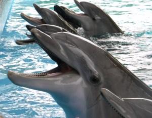 SeaWorld San Antonio - bottlenose dolphins